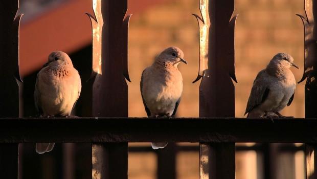 pigeons-1862173_960_720